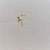 American Avocet, Arizona