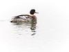 Red-breasted Merganser, Ontario