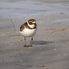 Semipalmated Plover, Florida