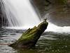 American Dipper, British Columbia