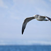 Ring-billed Gull, California