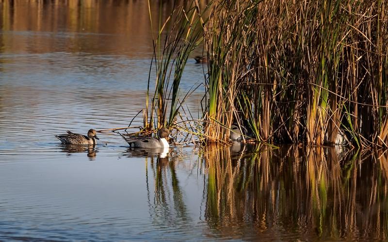 Northern Pintail Ducks, Arizona