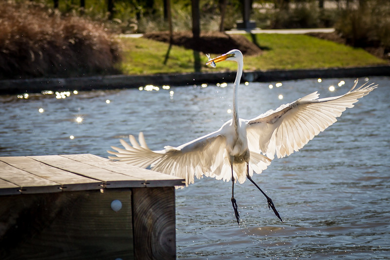 Great Egret-Hughes Landing-The Woodlands, TX