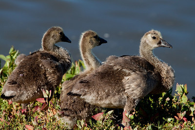 The Ugly Ducklings ;-)   Canon T1i, Canon 70-200mm F/4, 1.4TC