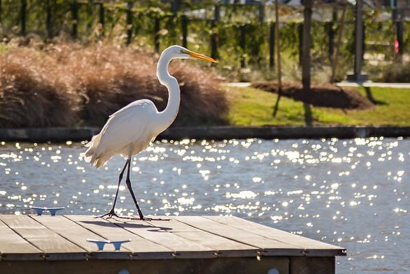 Great Egret-Hughes Landing-The Woodlands, TX
