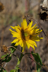 Botany Bay Sunflower IMG_0901