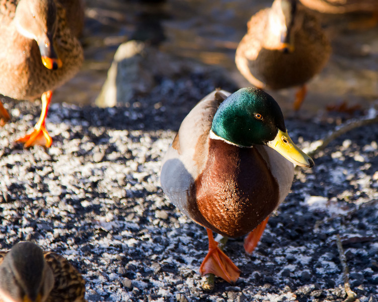 April 13th, 2011: Mallard March<br /> <br /> Happy Hump Day!<br /> <br /> On Display: The Copper Kettle (Laramie, Wyoming)