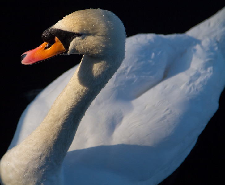 Another Swan Shot