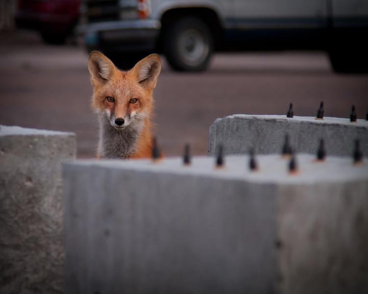 Fox among my concrete specimens.<br /> August 2011