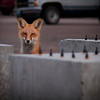 Fox among my concrete specimens.<br /> August 2011