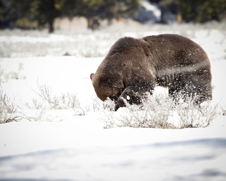 May 10th, 2013<br /> <br /> Last one of the brown bear, this one was my favorite. <br /> Happy Friday!