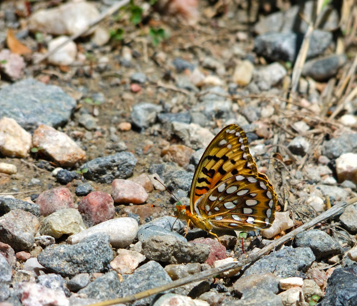 July 19th, 2010<br /> <br /> Ok you butterfly whisperers - I'm not sure what butterfly tricks you've learned but I'm giving you props. I attempted my first butterfly picture and I probably spent at least a few hours chasing this poor guy around! Light was too bright for this but the opportunity was there. <br /> <br /> Hope you all had a great weekend and wish you all a great start to your week.
