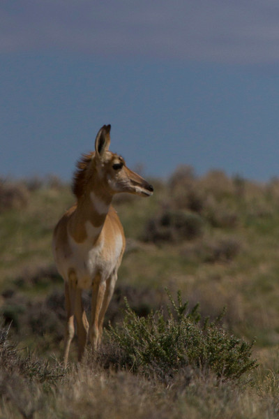 April 29th, 2012<br /> <br /> Just an antelope!<br /> Hit part of Flaming Gorge this weekend, will have more shots of hit later.<br /> <br /> Hope you all enjoy your Sunday!<br /> <br /> (Dakotacowboy: Appreciate the crop suggestion, I like it better this way)