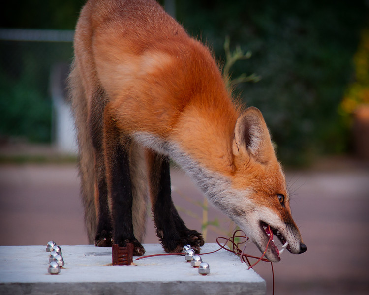 Me: watching the fox chew through a set of temperature probes cast in one of our specimens!