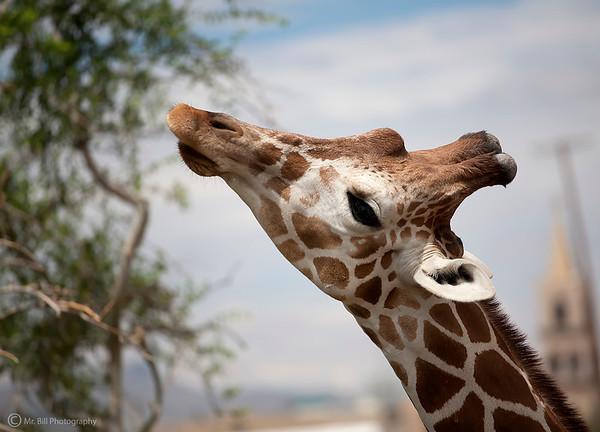 Giraffe @ El Paso zoo