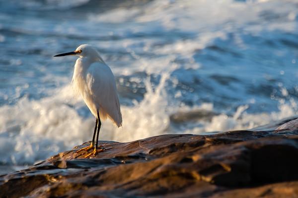 Snowy Egret V