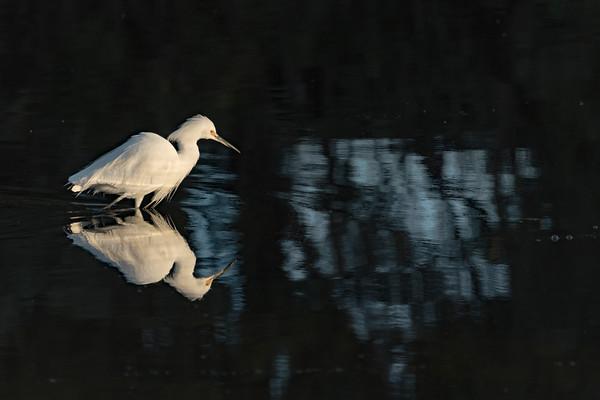 Snowy Egret VI