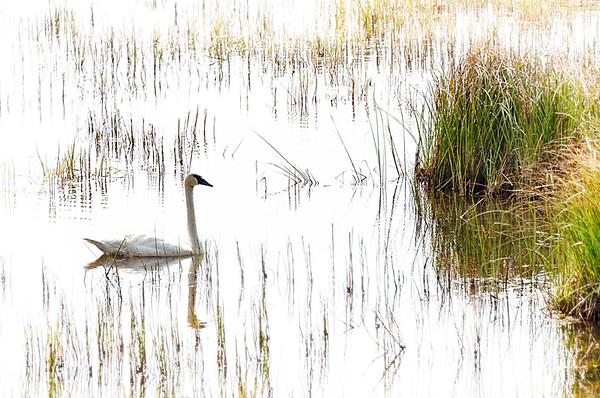 Swan IV
