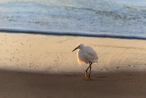 Snowy Egret II