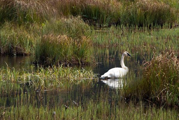 Swan III