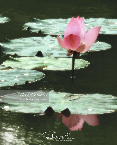 Lotus flower 7