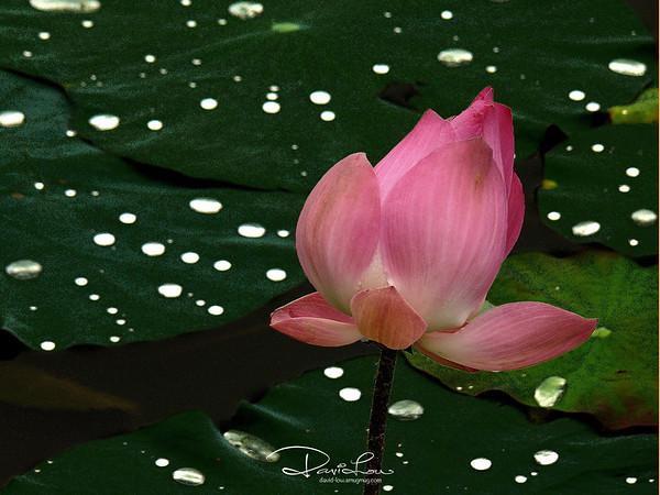 Lotus flower 3