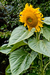 Large Sunflower plant in our side yard