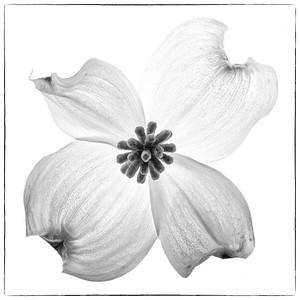 Dogwood Flower No. 1