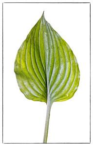 Green Hosta leaf