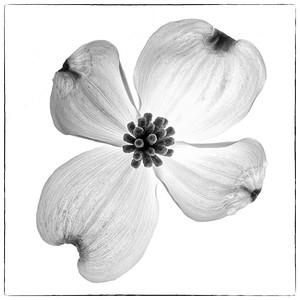 Dogwood Flower No. 2