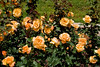 Yellow Rose Garden