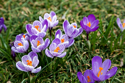 Purple and white crocus - Welcome Spring!  (Room for text in the grassy area.)