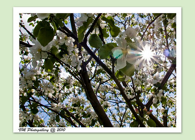 Under the apple blossom tree (06-May-2010).