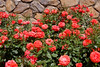 Coral Roses in Garden