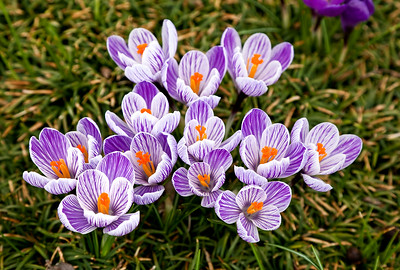 Purple and white crocus - Spring is here!
