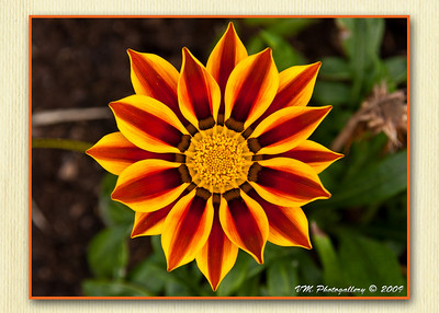 The sun's flower.
