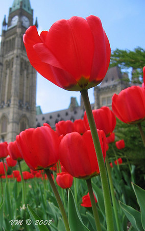 The tulip festival in Ottawa.  The Canadian Tulip Festival, held in Ottawa, Canada, claims to be the world's largest tulip festival and is held annually during the month of May.  In 1945, the Dutch royal family sent 100,000 tulip bulbs to Ottawa in gratitude for Canadians having sheltered Princess Juliana and her daughters for the preceding three years during the Nazi occupation of the Netherlands, in the Second World War.  Today while the Netherlands continues to send 20,000 bulbs to Canada each year (10,000 from the Royal Family and 10,000 from the Dutch Bulb Growers Association), by 1963 the festival featured more than 2 million, and today sees nearly 3 million tulips purchased from Dutch and Canadian distributors.