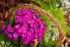 Purple Daisies in a Basket