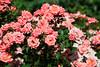 Pink Shrub Roses