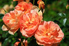 Coral Peach Shrub Roses