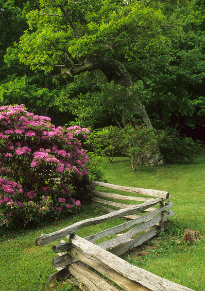 Rhododendron & Fence