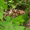 Whitetail Fawn