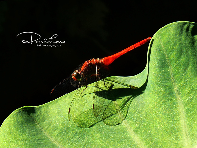 Red devil - The strong sunlight gave me the opportunity to bring out the profiles of the body and leaf to some mystical effect.