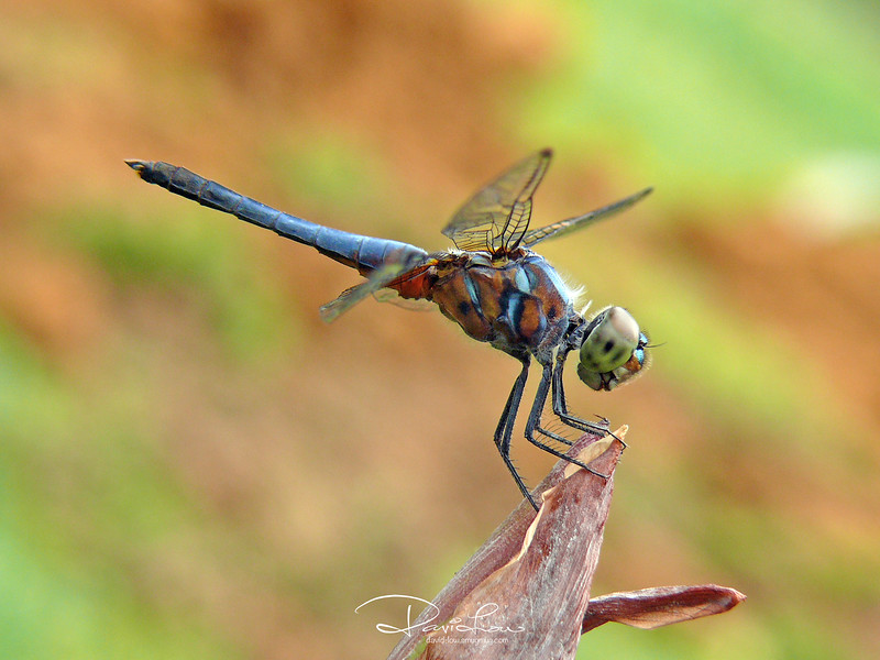 Pachydiplax longipennis (blue dasher, male)