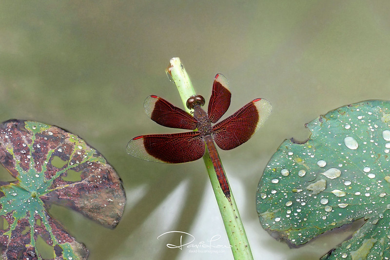 Neurothemis fluctuans (red grasshawk)