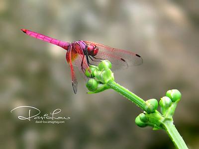 Trithemis aurora (crimson dropwing, male)