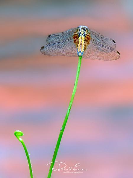 Orthetrum coerulescens (keeled skimmer)