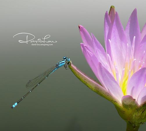Ischnura elegans (blue-tailed, male)