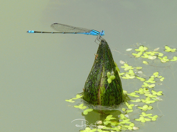 Ischnura elegans (blue-tailed, male)