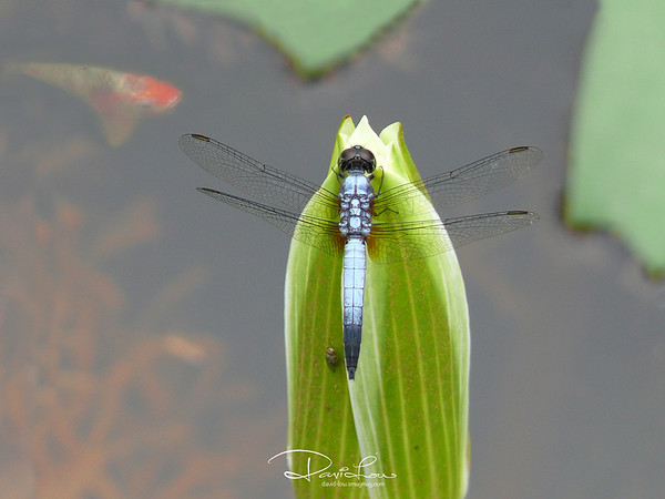 Orthetrum glaucum (blue skimmer, male)